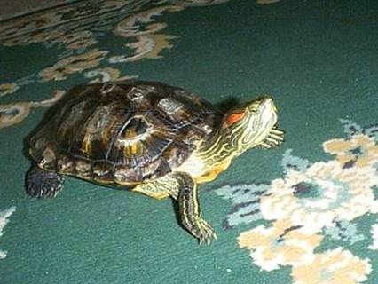 Free: DIY TURTLE SHELL CLEANING TO PREVENT AND TREAT SHELL ...