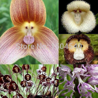 New varieties of orchids, Monkey Face Orchid Seeds, Bonsai Plants Flower Seeds 100pcs