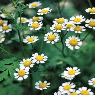Seeds - FeverFew (Tansies)