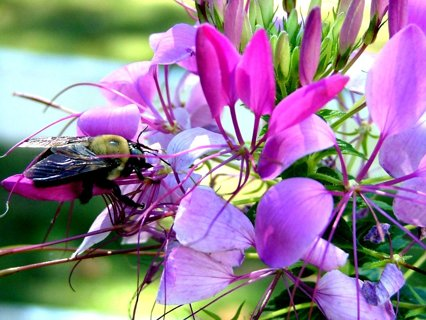 how to grow cleome from seed