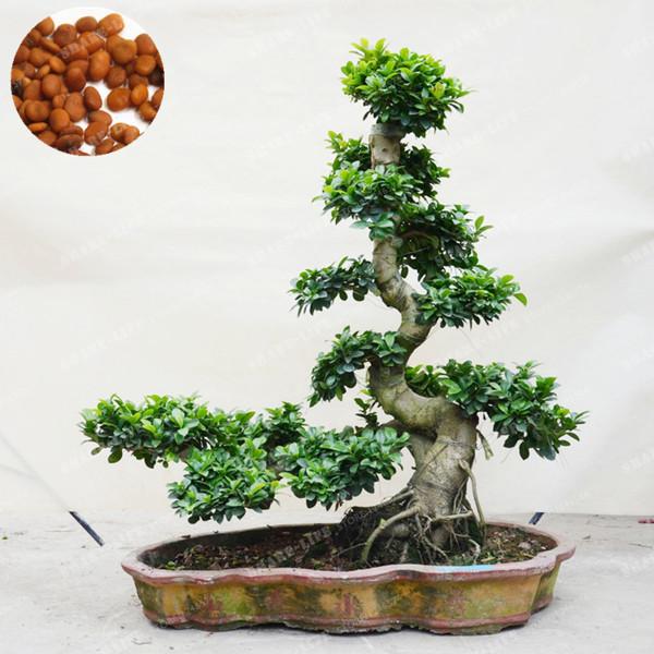 Free 20 Pcs Exotic Bonsai Tree Banyan Tree Seed Office Desk Ficus Ginseng Seed Perennial Ficus Microcarpa Gardening Seeds Bulbs Listia Com Auctions For Free Stuff