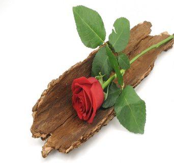 Sandalwood Rose Phantasy Fragrance Oil, 1/2 fl oz (15mL) GIN GETS 2