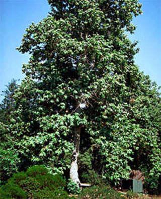 Sycamore Tree Seeds