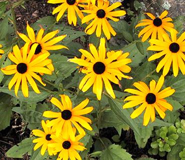 Black Eyed Susan seeds