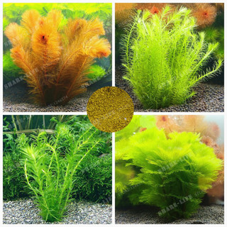 Free: 500 Pcs Bag Ceratophyllum Seeds Indoor Beautifying
