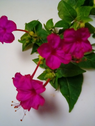 20 Vibrant Pink Only Seeds