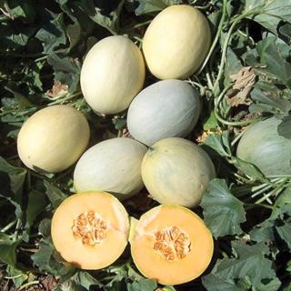 Papaya Dew Melon Seeds 10+