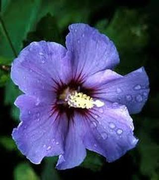 Free Fast 3 Day Purple Rose Of Sharon Seeds 10 Other Home