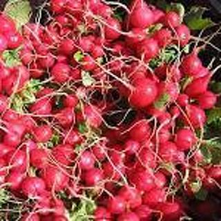 Early Scarlet Globe Radish--20 seeds