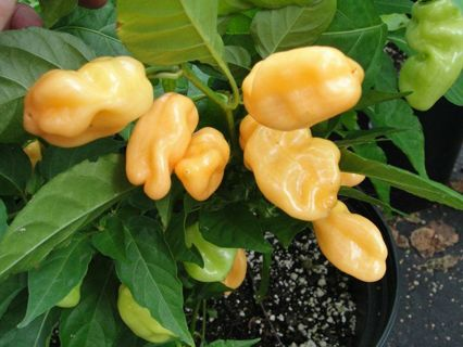Peach habanero pepper seeds HOT and prolific producer