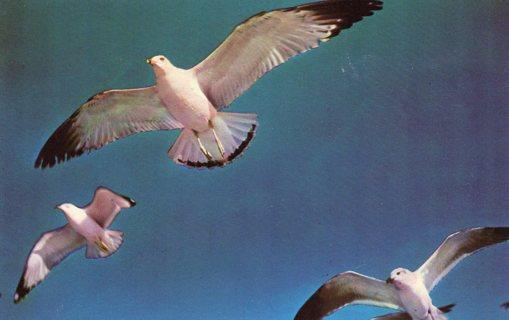 Vintage Used Postcard: Michigan Seagulls