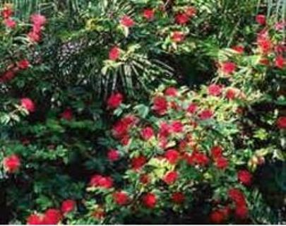 Powder Puff Plant (Bush)