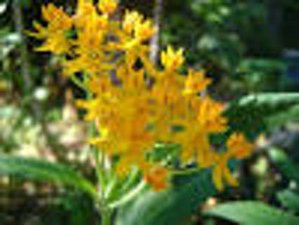Yellow butterfly weed seeds #20