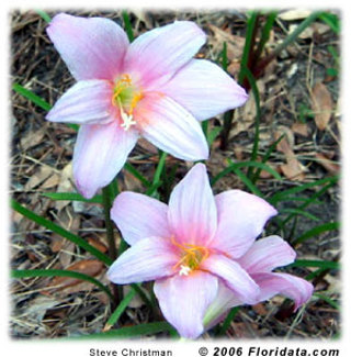 Rain lillies bulbs #5