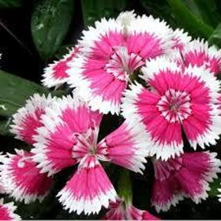 Baby Doll Dianthus SEEDS 10