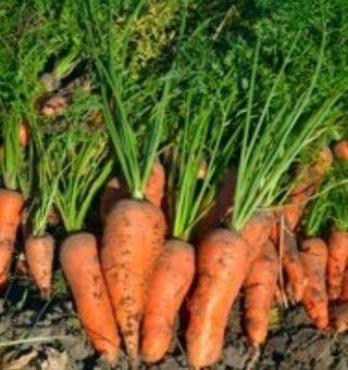 Danvers Half Long Carrot Seeds