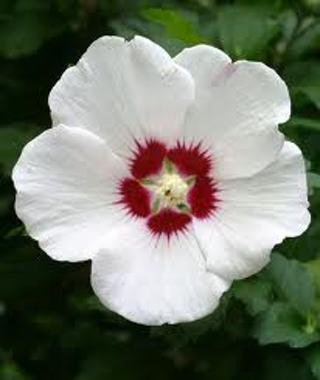 Rose of Sharon ( White ) 15 Seeds