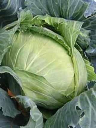 25 plus Brunswick Cabbage seed