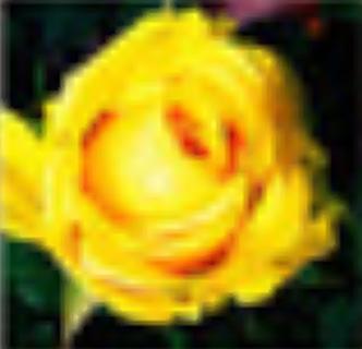 1 Package Of 50 Heirloom Dark Yellow Rose Seed