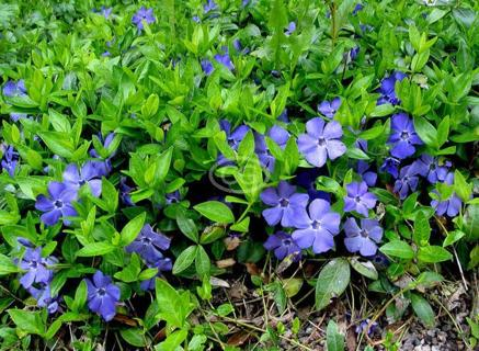 Free Periwinkle Myrtle Ground Cover Beautiful Purple