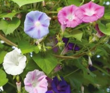 10 Morning Glory Seeds