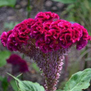 roosters comb seeds
