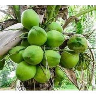 YOU CAN HAVE YOUR OWN LIVE SPROUTED FLORIDA COCONUT PALM TREE FREE SHIPPING!!!!