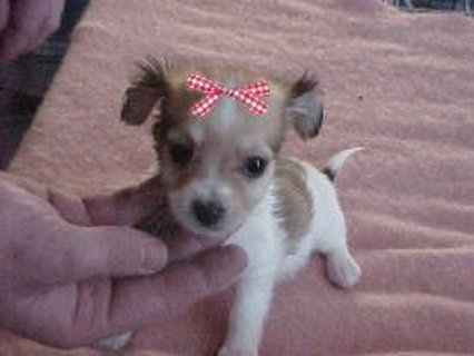 Free 10 Tiny Dog Bows For Short Haired Dogs Other Pet