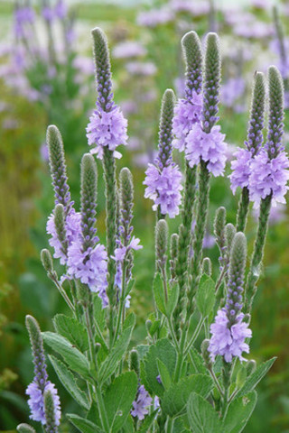 50 PLUS SEEDS OF HOARY VERVAIN (Verbena stricta)