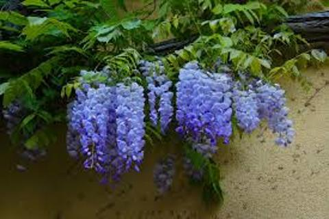 3-5 wisteria seeds