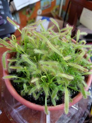 ☆☆Live Carnivorous Plant!! Cape Sundew (Drosera capensis)☆☆