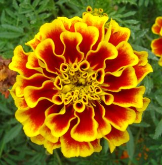 French marigold seeds. 20 seeds