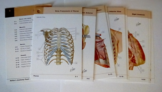Anatomy Flash Cards Thorax