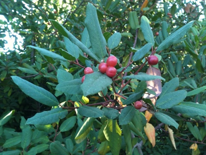 SEEDS - California PlCoffee Berry Seeds