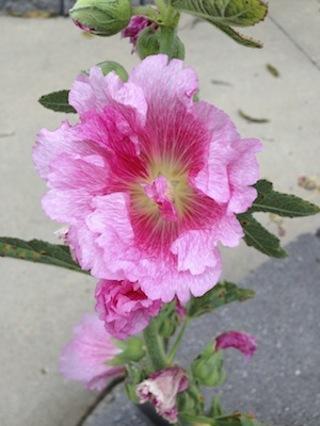 30 pink Hollyhock seed