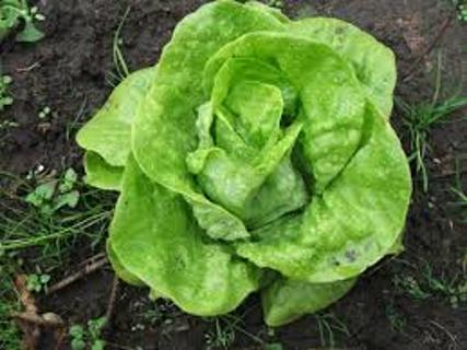 25 plus Salad Bowl Lettuce seed...