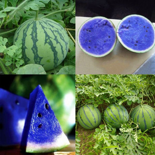 Free: NH##10Pcs Sweet Blue Watermelon Seeds Vegetable ...