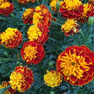25 organic Orange & Yellow variegated  Marigold Seeds (50+ with GIN!!)