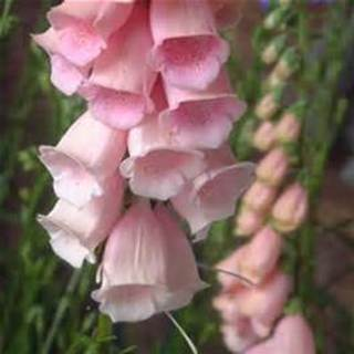 25 plus Apricot Beauty Foxglove seed
