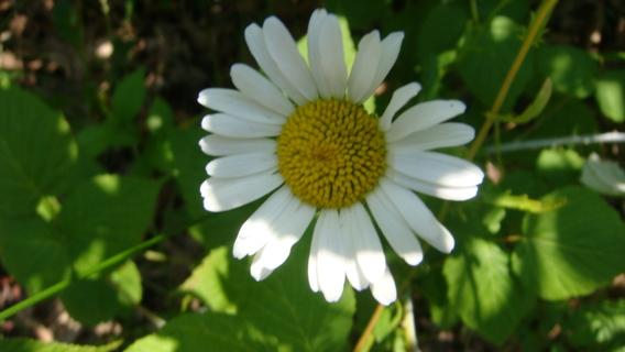 Organic Shasta Daisy seeds