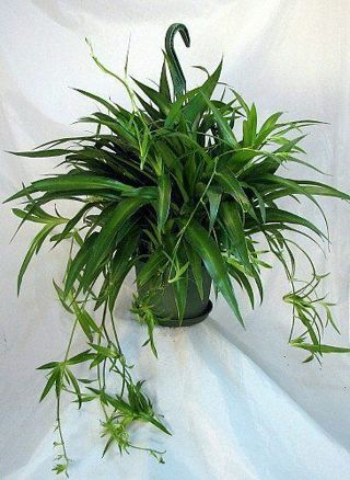 Spider plant. Free shipping