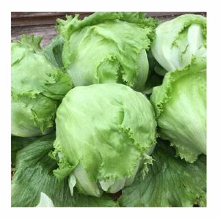 Iceberg Lettuce---15 seeds