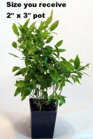Free Top Hat Dwarf Blueberry Plant Bonsai Patio