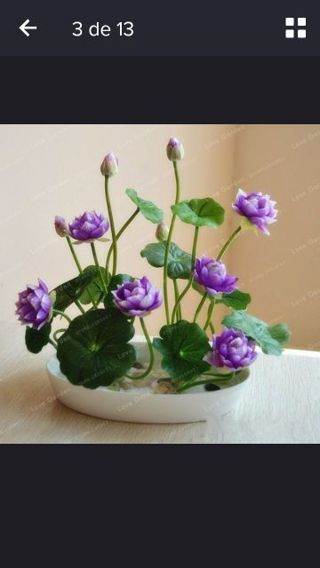 Lotus seed Aromatic, foliage, flower viewing