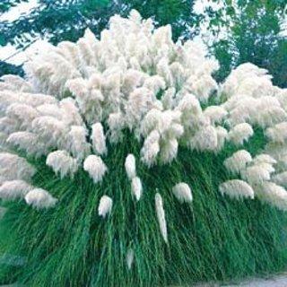White Pompass Grass seeds x 12+