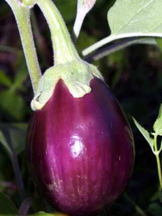 Eggplant Back Beauty Seeds