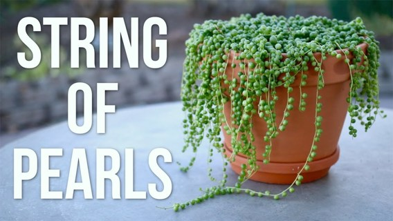 String of Pearls Succulent Cuttings