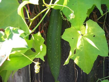 10 Loofah or luffa seeds (organic)!