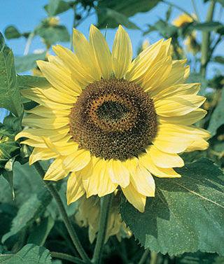 Lemon Queen Sunflowers 5 Seeds