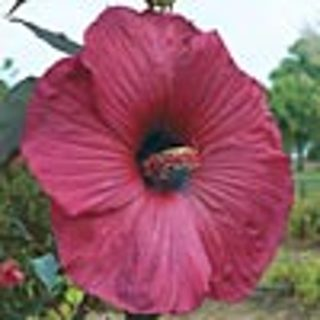 ~**LOOK! Giant Hibiscus RED Seeds MUST SEE**~